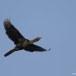 dwergaalscholver-pygmy-cormorant-01