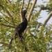 dwergaalscholver-pygmy-cormorant-03