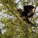 dwergaalscholver-pygmy-cormorant-04