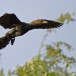 dwergaalscholver-pygmy-cormorant-05