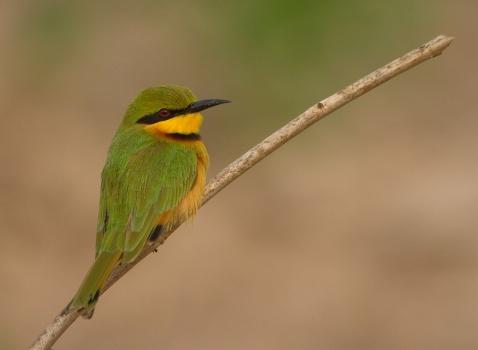 dwergbijeneter-little-bee-eater-08