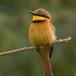 dwergbijeneter-little-bee-eater-01
