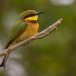 dwergbijeneter-little-bee-eater-02