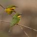 dwergbijeneter-little-bee-eater-05