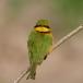 dwergbijeneter-little-bee-eater-07