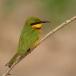 dwergbijeneter-little-bee-eater-10
