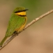 dwergbijeneter-little-bee-eater-11