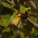 dwergbijeneter-little-bee-eater-12