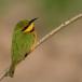 dwergbijeneter-little-bee-eater-9