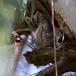 dwergooruil-_-scops-owl-01