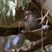 dwergooruil-_-scops-owl-03
