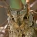 dwergooruil-eruopean-scops-owl-05
