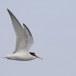 Dwergstern-Little-Tern-06