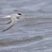 Dwergstern-Little-Tern-09