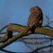 dwerguil-pygmy-owl-08