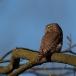dwerguil-pygmy-owl-09