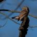 dwerguil-pygmy-owl-14