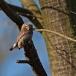 dwerguil-pygmy-owl-16