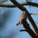 dwerguil-pygmy-owl-18