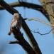 dwerguil-pygmy-owl-19