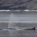 dwergvinvis-antartic-minke-wale-01