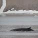 dwergvinvis-antartic-minke-wale-04