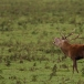 edelhert-red-deer-01
