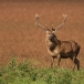 edelhert-red-deer-02
