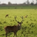 edelhert-red-deer-04
