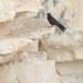 Eleonoras valk - Eleonoras Falcon 03