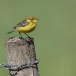 Engelse-kwikstaart-Yellow-crowned-wagtail-01
