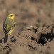 Engelse-kwikstaart-Yellow-crowned-wagtail-02