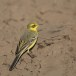 Engelse-kwikstaart-Yellow-crowned-wagtail-03