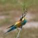 Europese Bijeneter - European Bee-eater 04