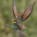 Europese Bijeneter - European Bee-eater 07