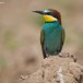 Europese Bijeneter - European Bee-eater 10