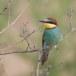 Europese Bijeneter - European Bee-eater 13