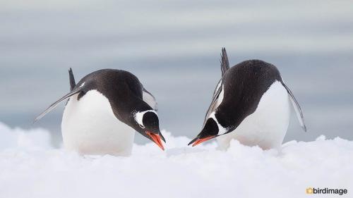 Ezelspinguin_Gentoo Penguin 25