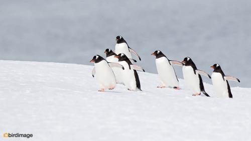 Ezelspinguin_Gentoo Penguin 29