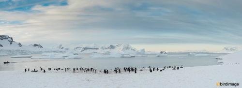 Ezelspinguin_Gentoo Penguin 30