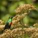 feeenhoningzuiger-beautiful-sunbird-02