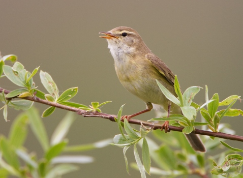 fitis-willow-warbler-01