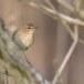 Fitis-Willow-Warbler-07
