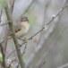 Fitis-Willow-Warbler-08