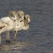 Flamingo - Greater Flamingo 02