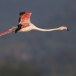 Flamingo - Greater Flamingo 04