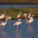 Flamingo - Greater Flamingo 06