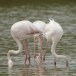 Flamingo - Greater Flamingo 07