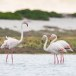 Flamingo-Greater-Flamingo-09