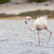 Flamingo-Greater-Flamingo-10